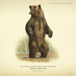north_american_brown_bear_grizzly